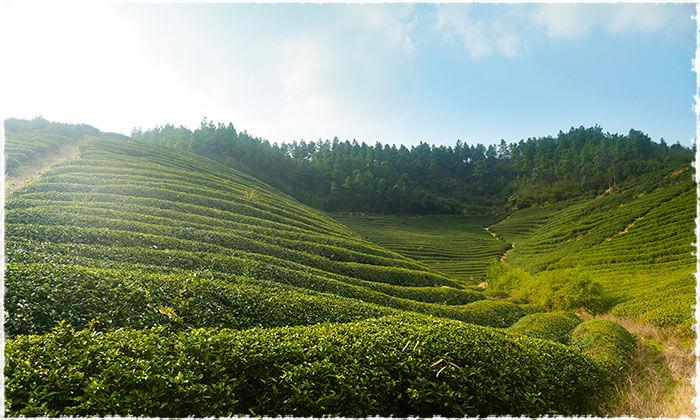 Zhejiang Tea Garden