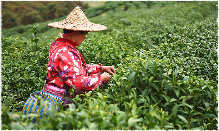Picking the Tea Leaves