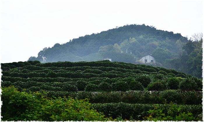 Long Jing Tea Garden