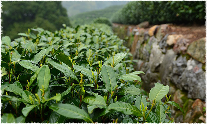 Long Jing Tea Leaves