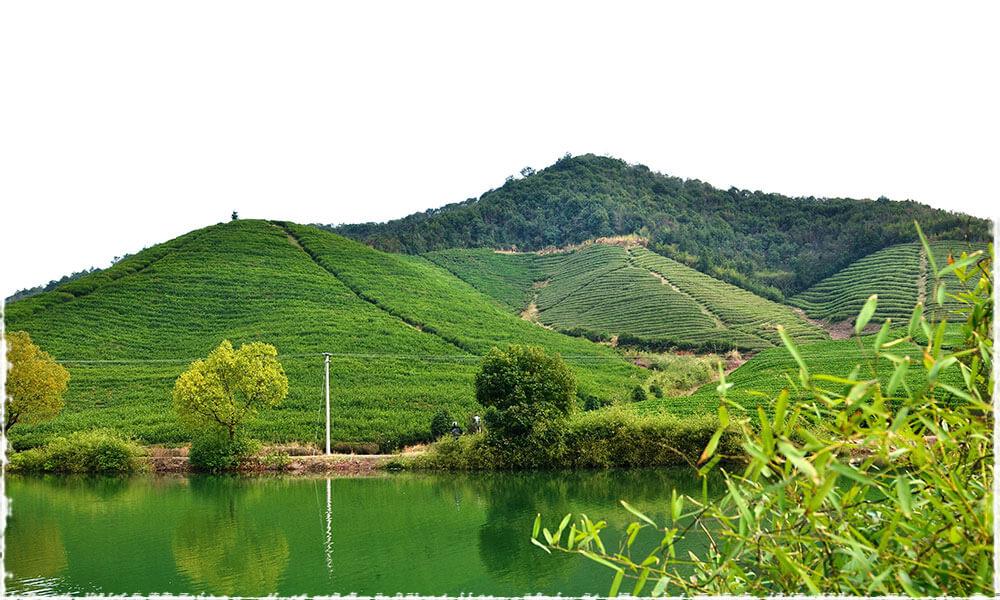 Bao Jia organic tea garden