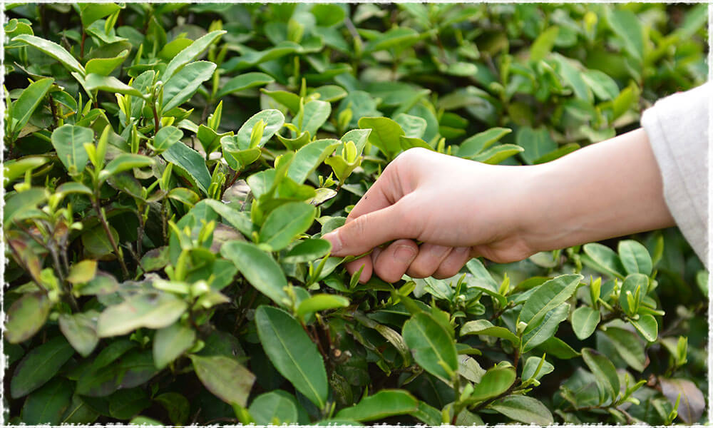 Picking Tender Tea Buds