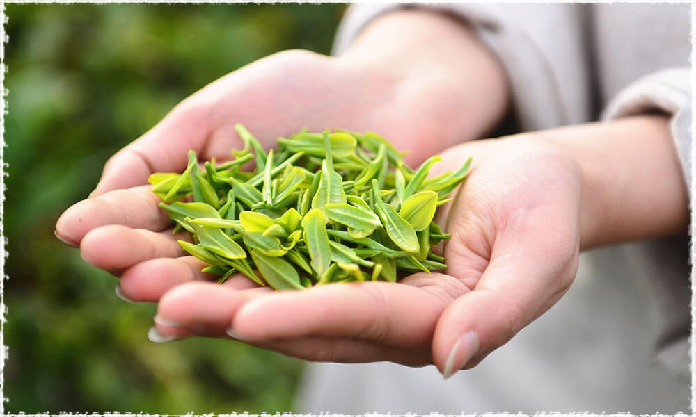Picked Tea Leaves in hands