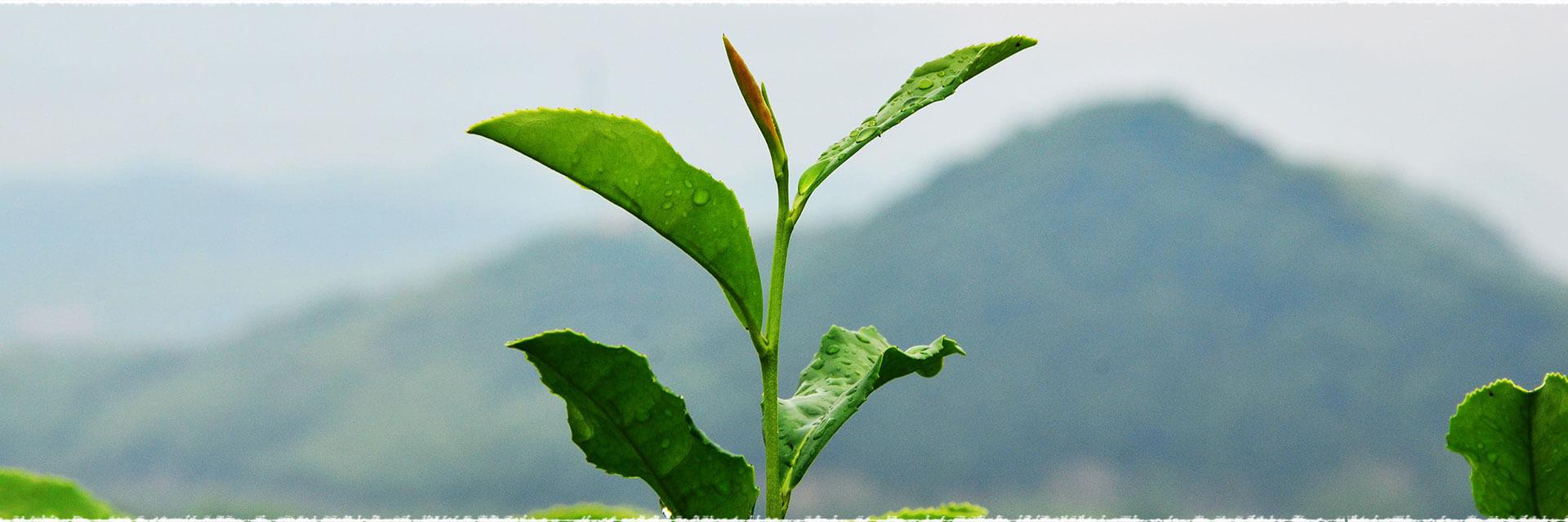 Shapes of green tea