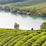 Bao Jia Cun Organic Tea Garden 10