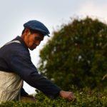 Bao Jia Cun Organic Tea Garden 11