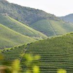 Bao Jia Cun Organic Tea Garden 3