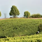 Bao Jia Cun Organic Tea Garden 8
