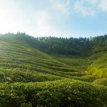 Bao Jia Cun Organic Tea Garden 9