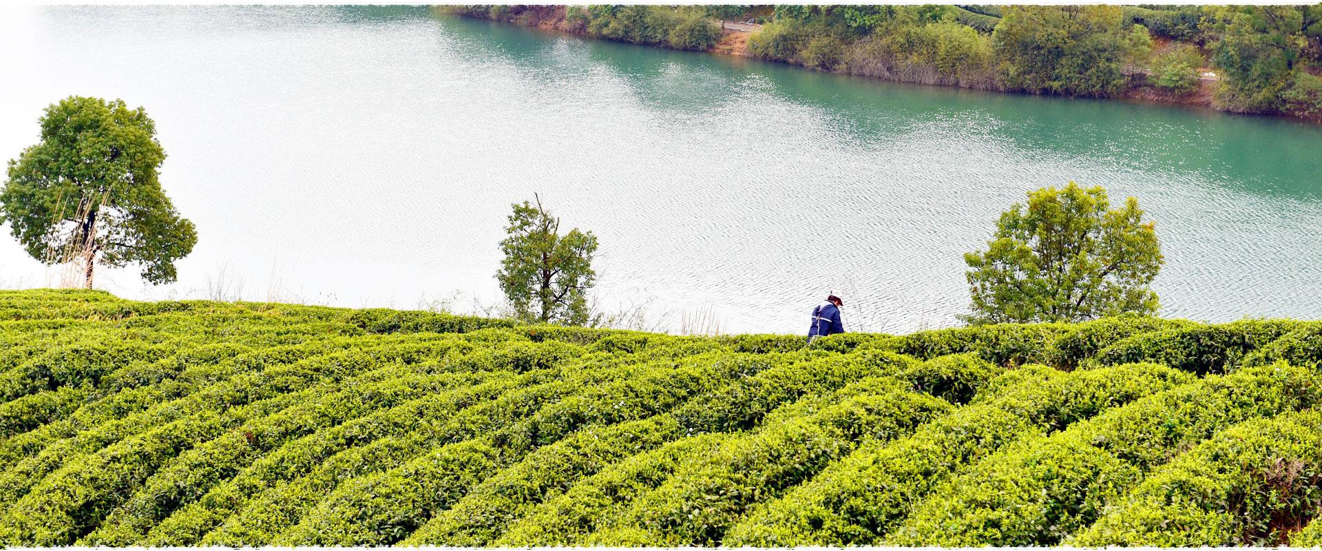 Visit Organic Tea Garden in Hangzhou