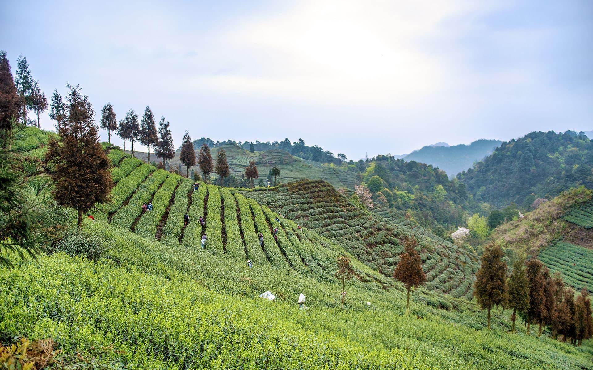 Mt. Tiangong Organic Tea Garden