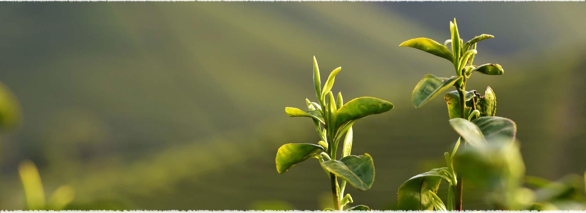 Fresh Spring Tea
