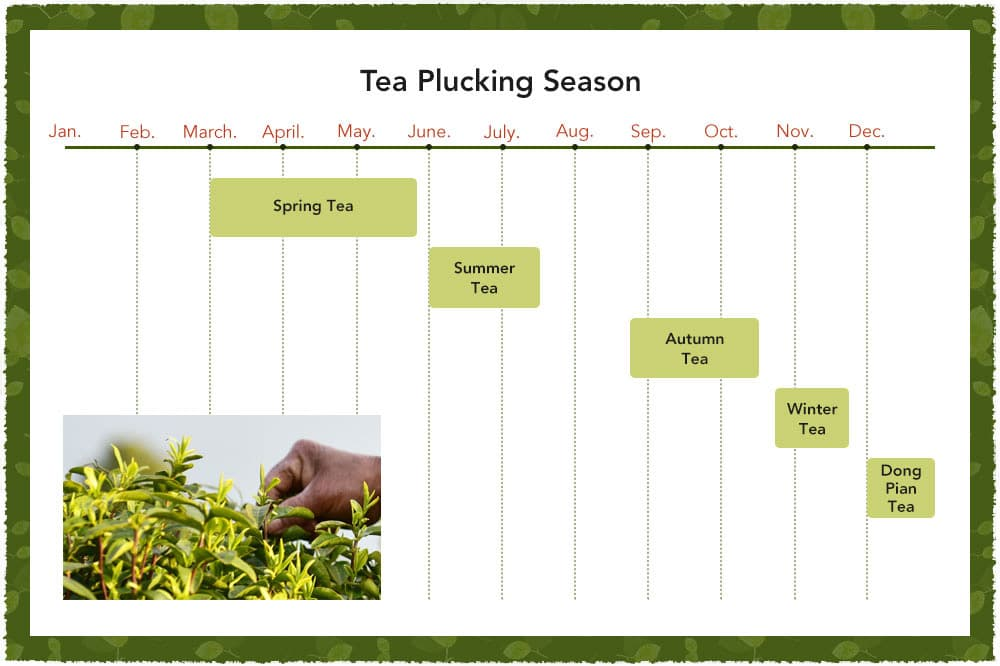 Tea Picking Seasons