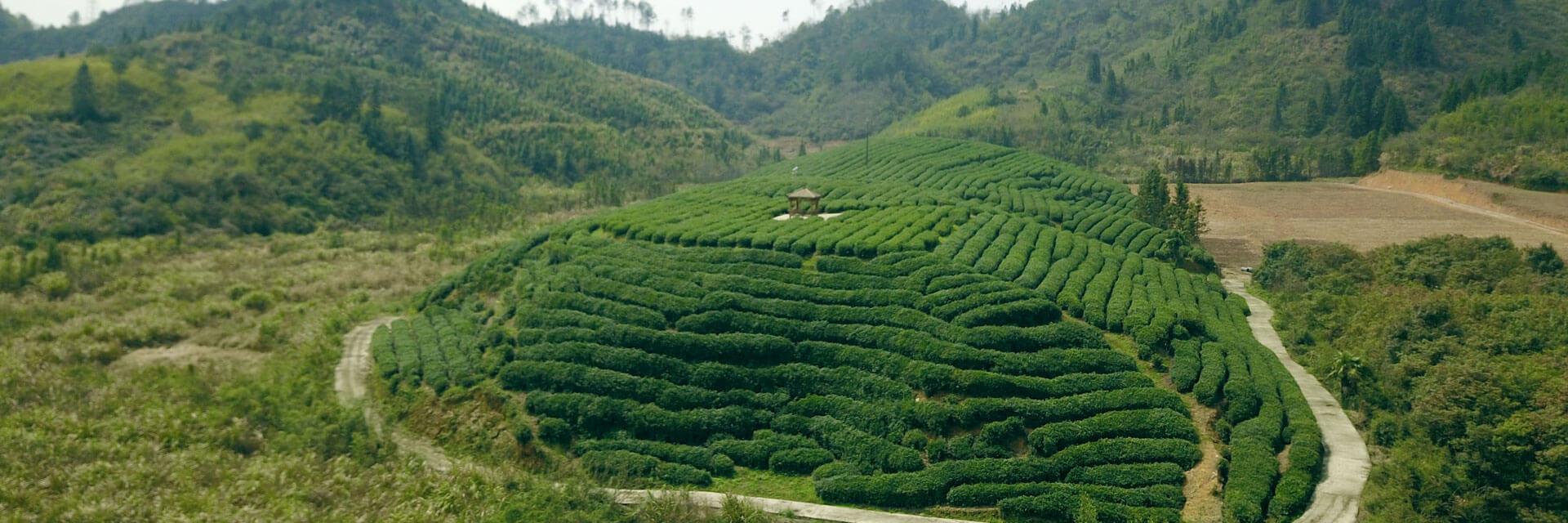 Tea Garden Trip II: Organic Qiandao Lake Tea Garden
