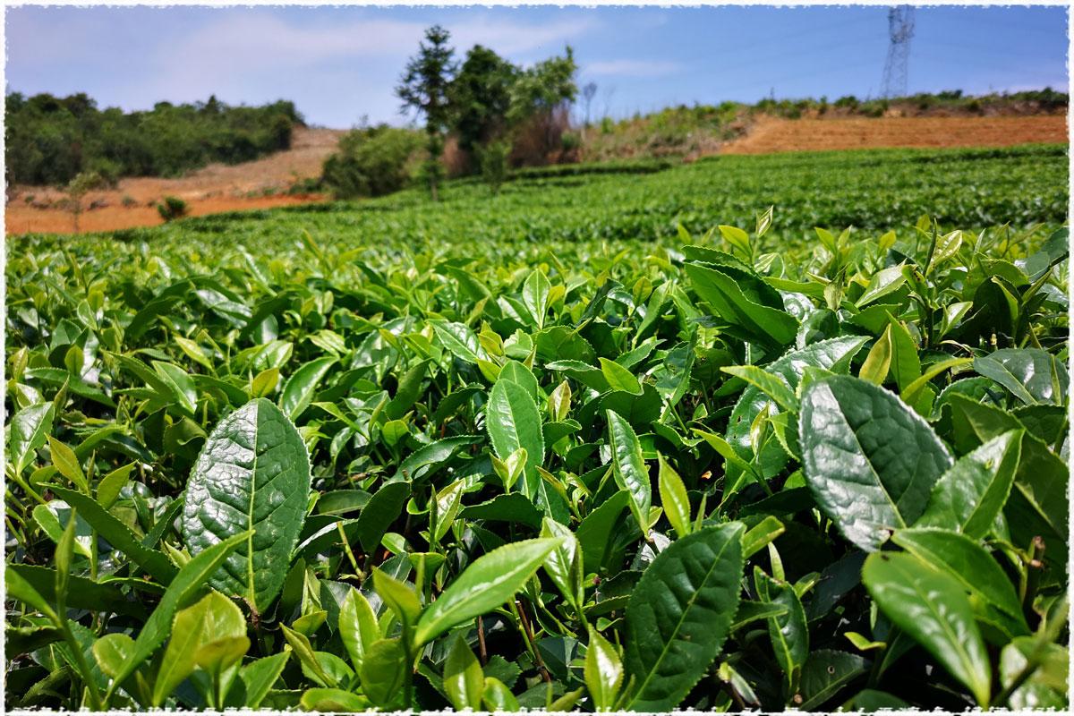 Chaitou Shan Tea Garden