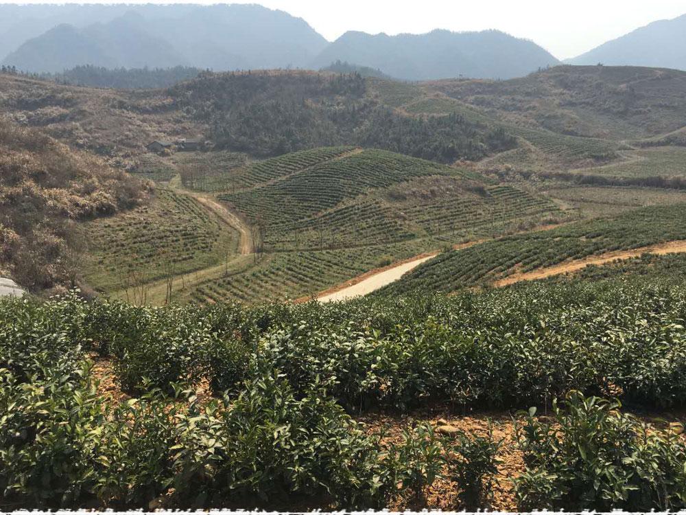 dongjing tea garden
