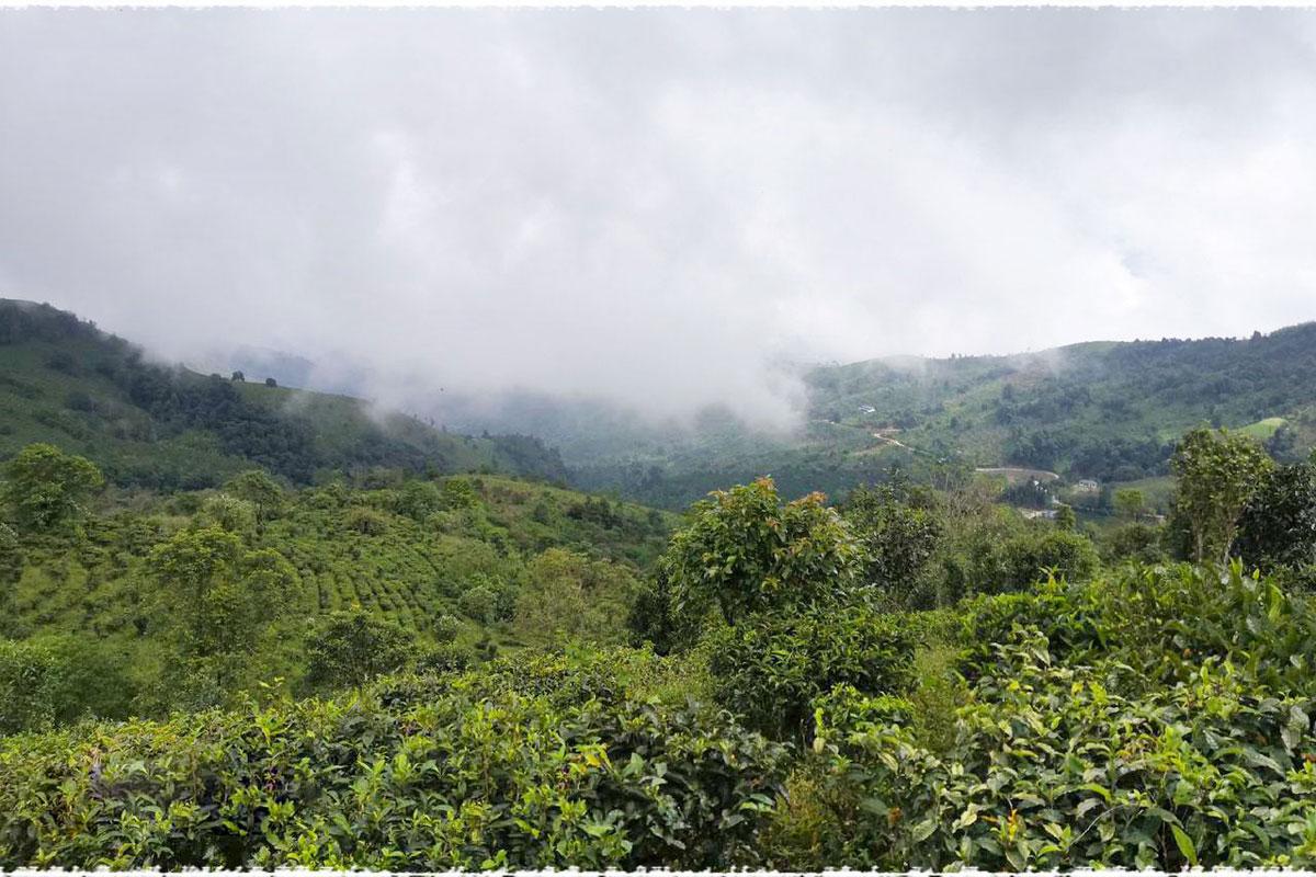 tea mountain